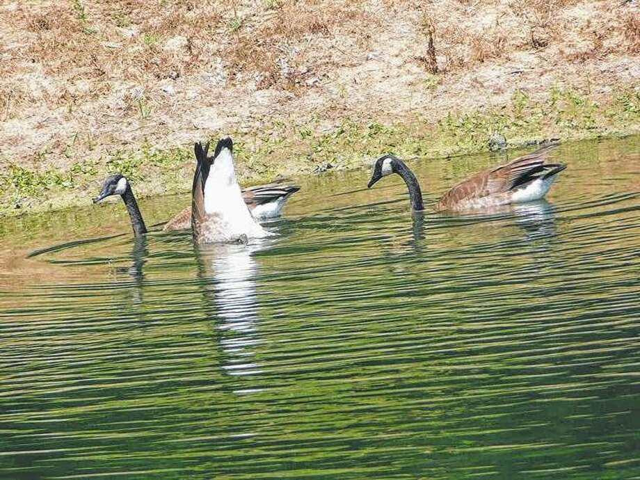 A goose dives into the water to grab lunch. Photo: Dianne Dooley | Reader Photo