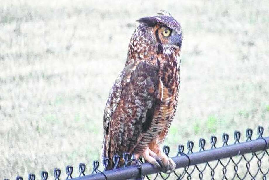 A great horned owl studies its surroundings from the top of a fence in Jacksonville. Photo: Larry Speakman | Reader Photo