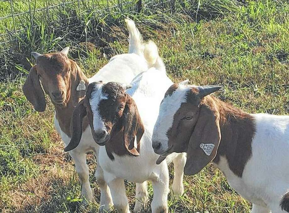 """Boer goats cozy up to the camera. The breed was developed in South Africa. The name """"boer"""" is South African for """"farmer."""" Photo: Joy Harris 