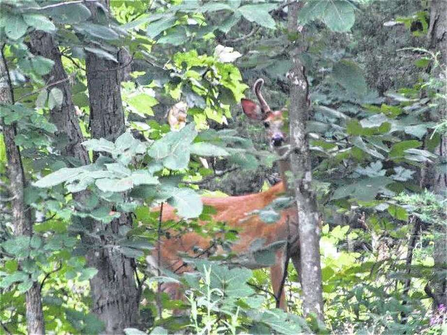 A deer is nearly hidden in the countryside. Photo: Beverly Watkins | Reader Photo