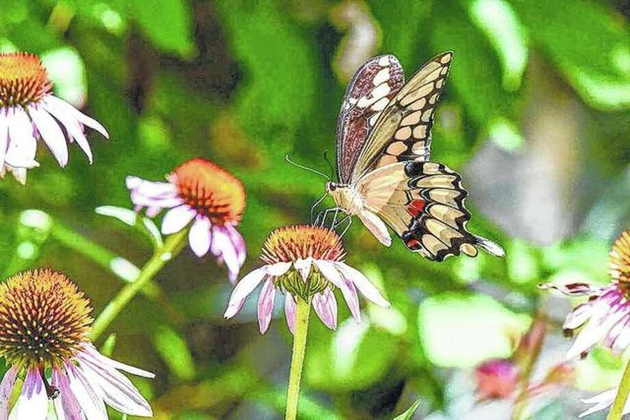 A butterfly makes a landing on a cone flower near Waverly.