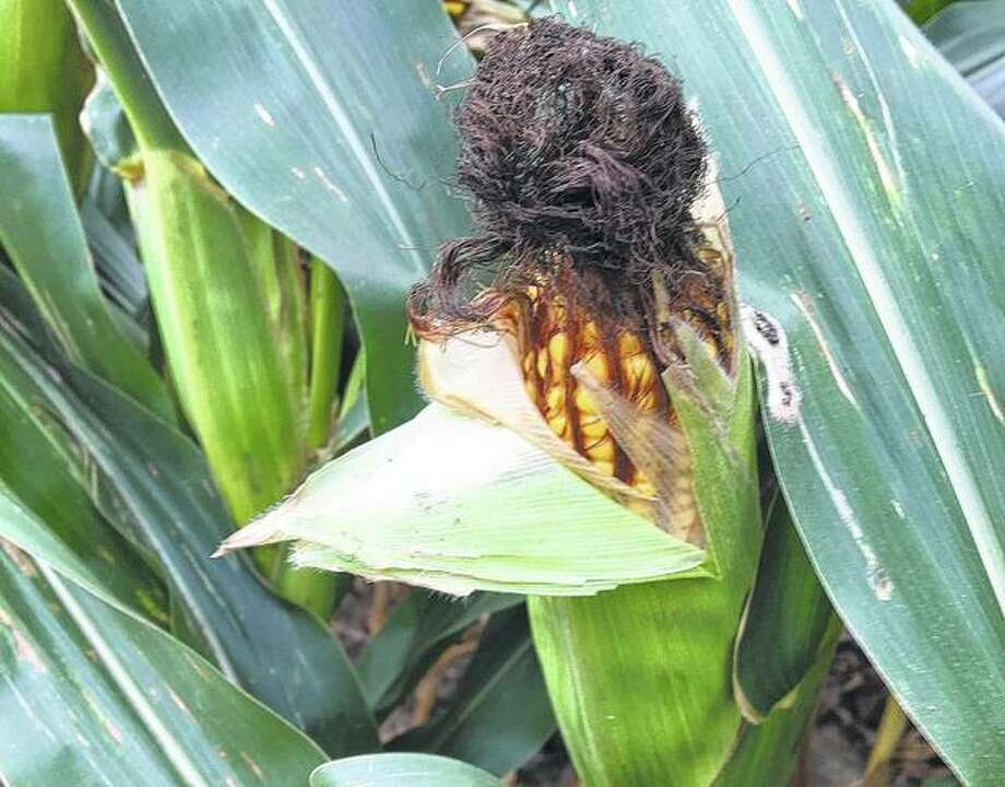 A partially torn husk shows the plump kernels on an ear of corn waiting in a field. Photo: Joy Harris | Reader Photo