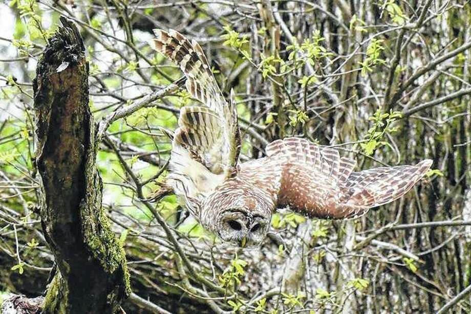A barred owl swoops down on its prey near Waverly.