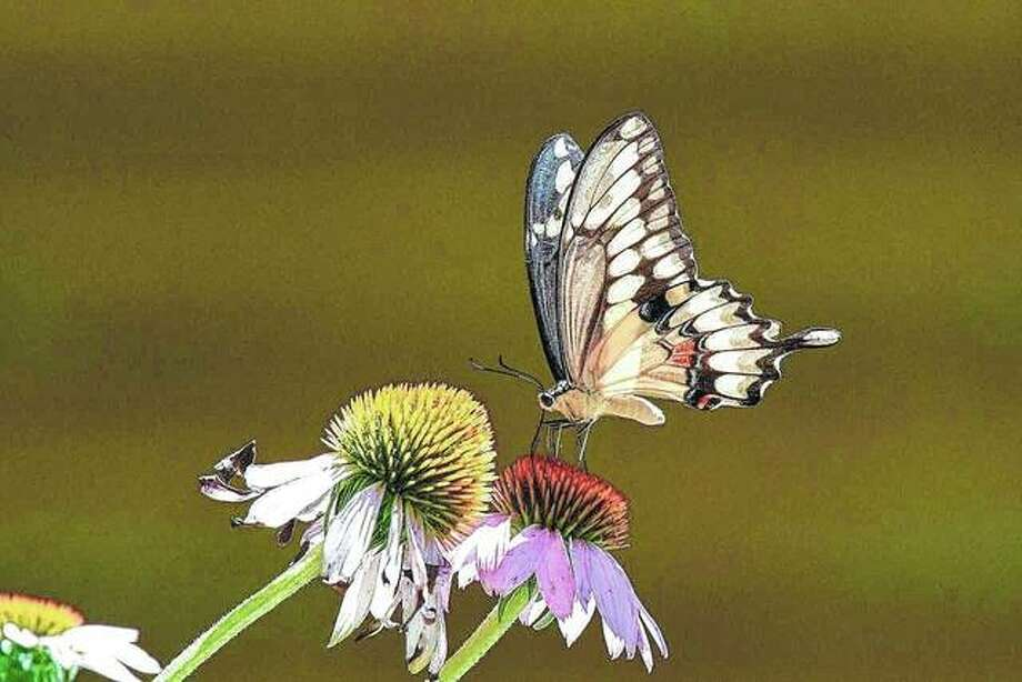 A butterfly makes a landing on a flower in a field near Waverly. Photo: Kathy Caruthers | Reader Photo