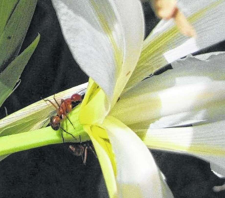 Ants maneuver along a Japanese iris plant in Jacksonville. Photo: John Hayter | Reader Photo