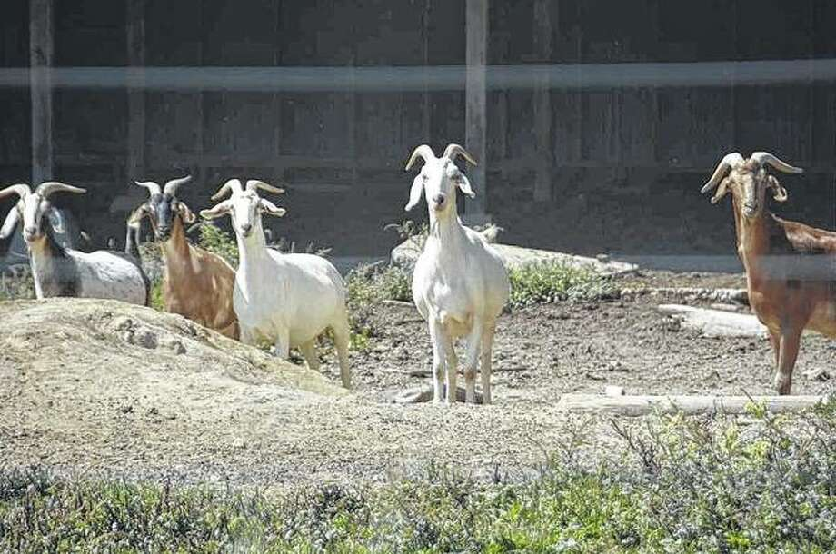 A group of goats seem to be a little suspicious about their surroundings. Photo: Kathy Caruthers | Reader Photo