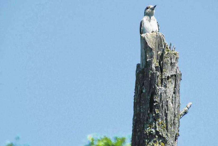 A woodpecker sits on a post in rural Greene County. Photo: Beverly Watkins | Reader Photo