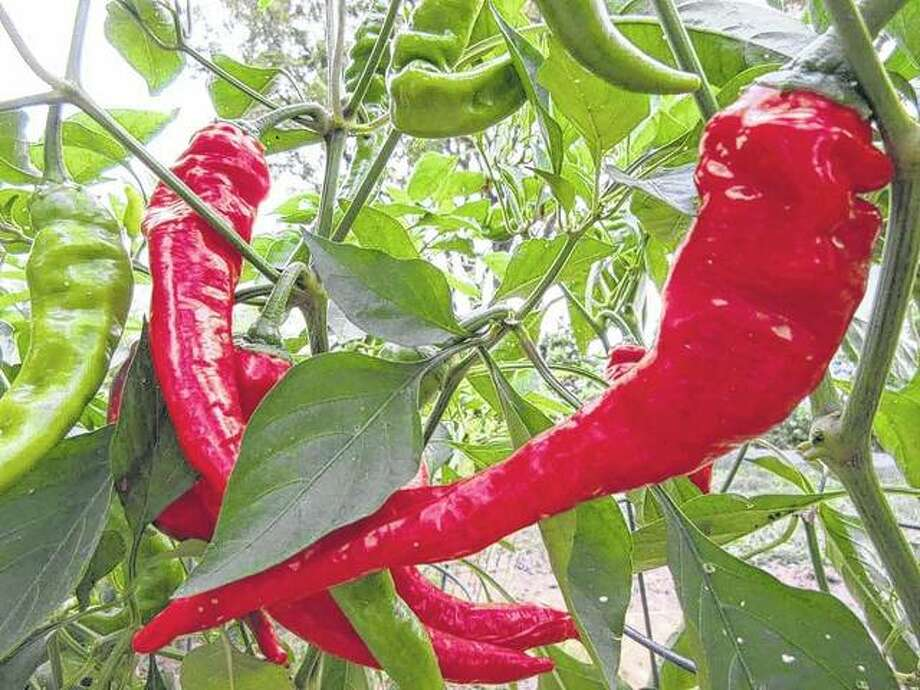 Cayenne peppers ripen in a garden in rural Greenfield.