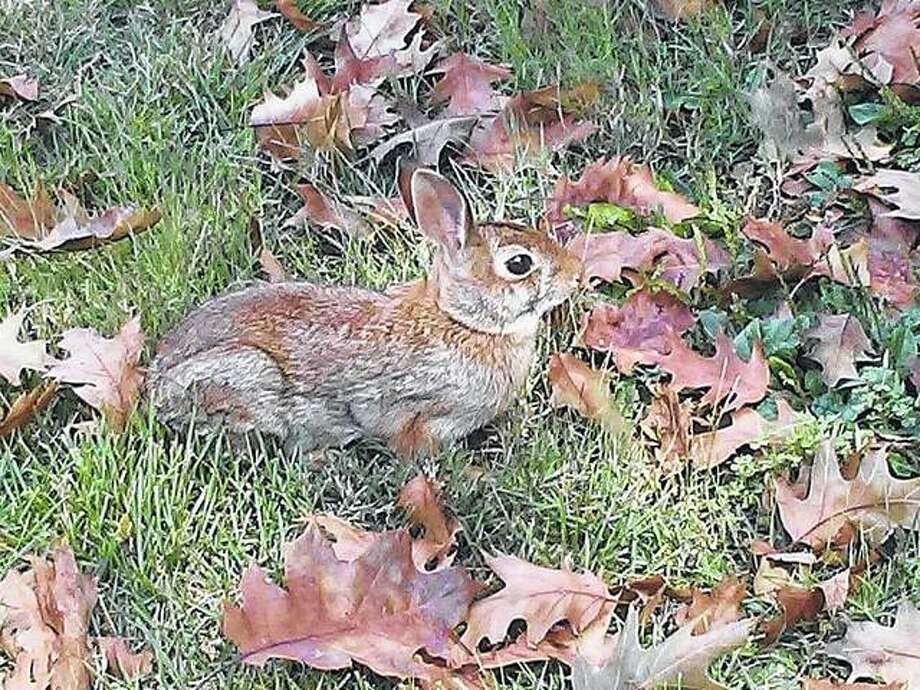 A rabbit blends in with the leaves in a White Hall yard. Photo: Gary Coates | Reader Photo