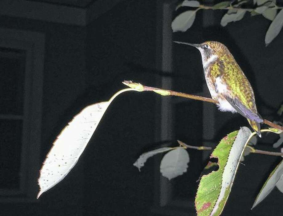 A hummingbird dozes in a tree. Photo: Lisa Farmer | Reader Photo