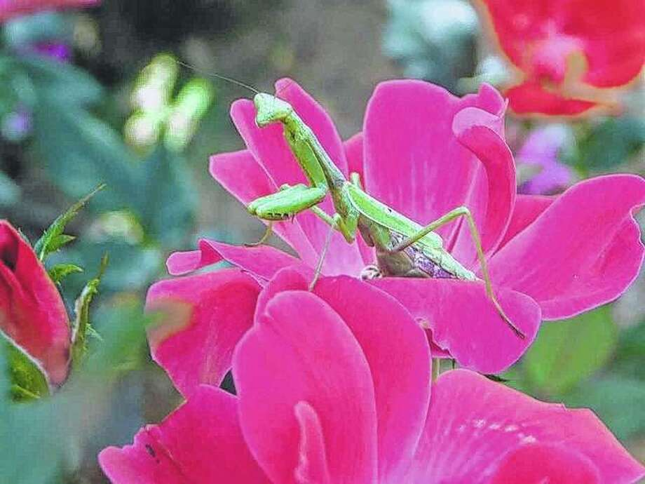 A praying mantis takes time to stop and smell the roses. Photo: Dianne Dooley | Reader Photo