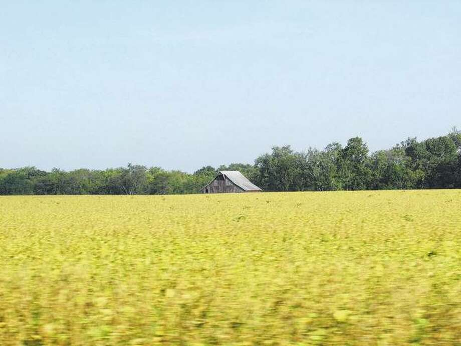 Ripening soybeans give the appearance of a field of gold. Photo: Beverly Watkins | Reader Photo