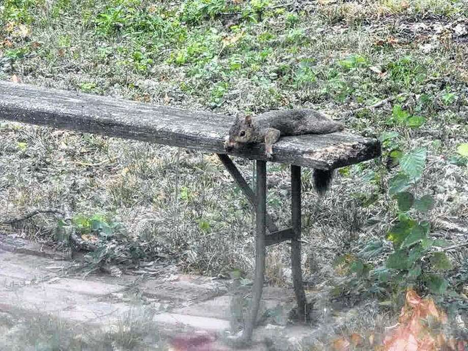 A squirrel takes a relaxed pose on a bench in a Jacksonville yard. Photo: Angela Bauer | Journal-Courier