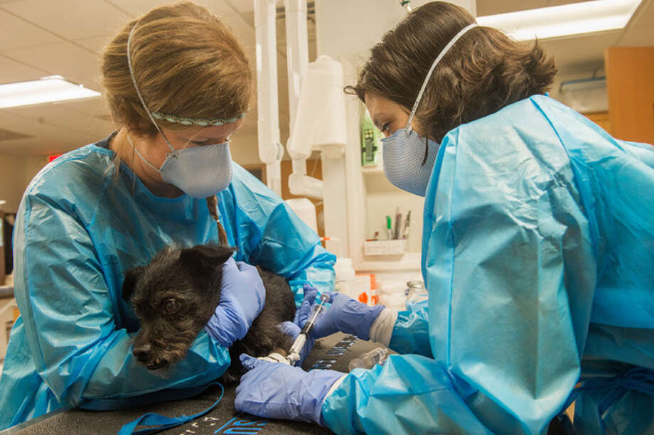 In this Nov. 29, 2016 photo, veterinary technician Leah Richardson, left, cradles and comforts Wolfgang, an eight-year-old terrier mix, as certified veterinary technician Kelly Lewis injects chemotherapy drugs through a catheter in Wolfgang's leg in a treatment for transitional cell carcinoma at the Peoria Area Veterinary Cancer Clinic in Peoria, Ill. The establishment of the first pet cancer clinic in the city, brought to town not only a new service, but also convenience and practicality to pet lovers.