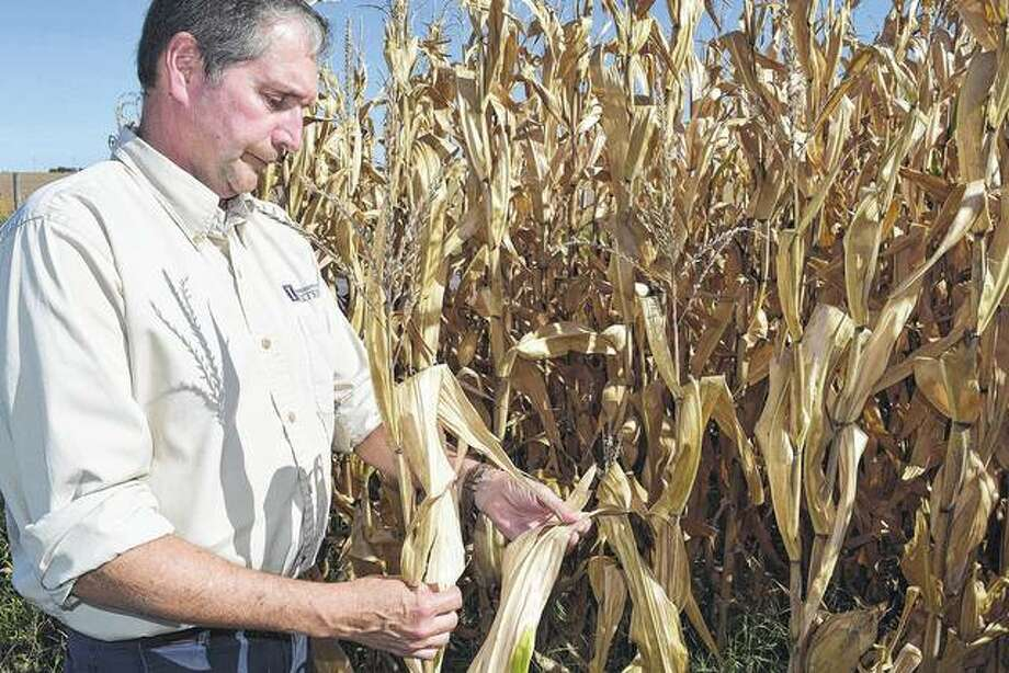 University of Illinois Extension educator Duane Friend examines a dry cornstalk north of Jacksonville. Friend said there is a greater potential for field fires with the extremely dry conditions.