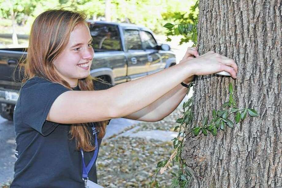 Illinois College senior Rachel Helmich of Virginia measures one of the city's trees Monday. About 2,000 trees will be surveyed for an inventory study. Photo: Nick Draper | Journal-Courier