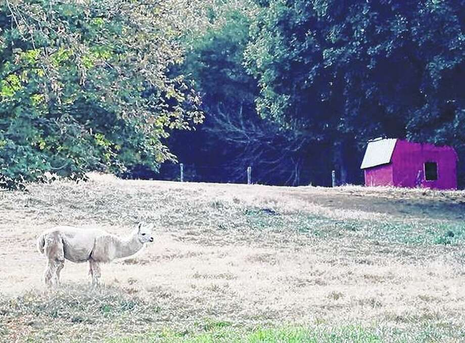 A llama wanders through a field in Scott County. Photo: Joy Harris | Reader Photo
