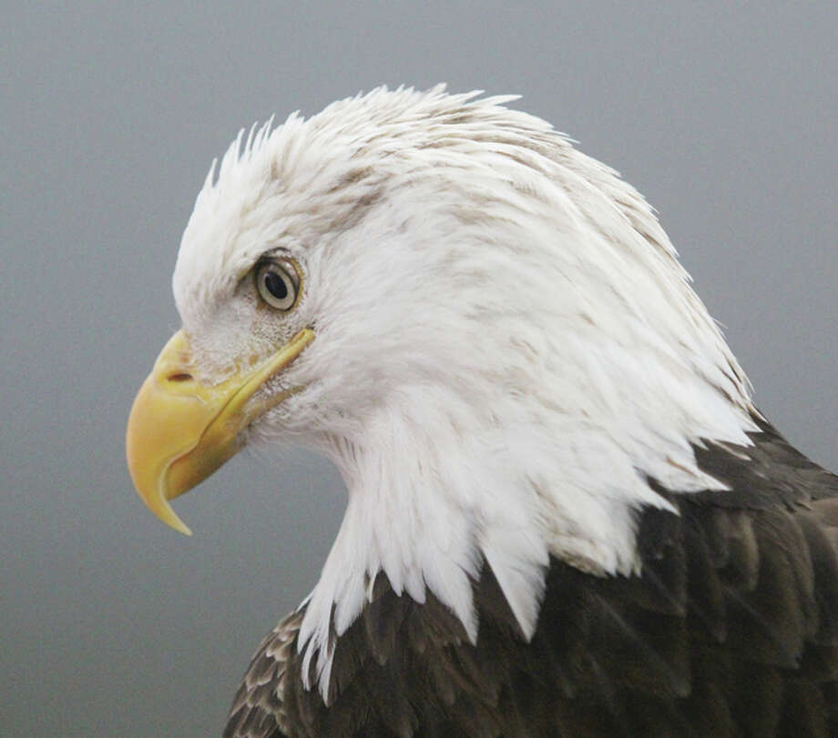 Fans of bald eagles will get a chance to get up close and personal with the national symbol at Eagle Days at the Old Chain of Rocks Bridge this weekend. The event includes both demonstrations with captive eagles, and spotting scopes manned by volunteers on the bridge so people can look at wild eagles. The event will be 9 a.m. to 3 p.m. Saturday and Sunday.