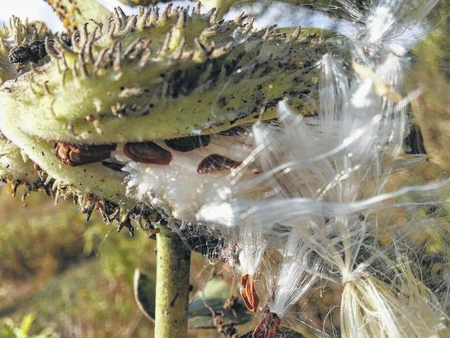 A milkweed pod opens to spread its seeds. Photo: Joy Harris | Reader Photo