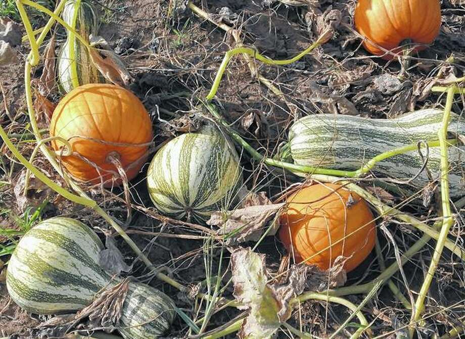 Pumpkins and squash ripen on the vine, ready for season's pickings. Photo: Joy Harris | Reader Photo
