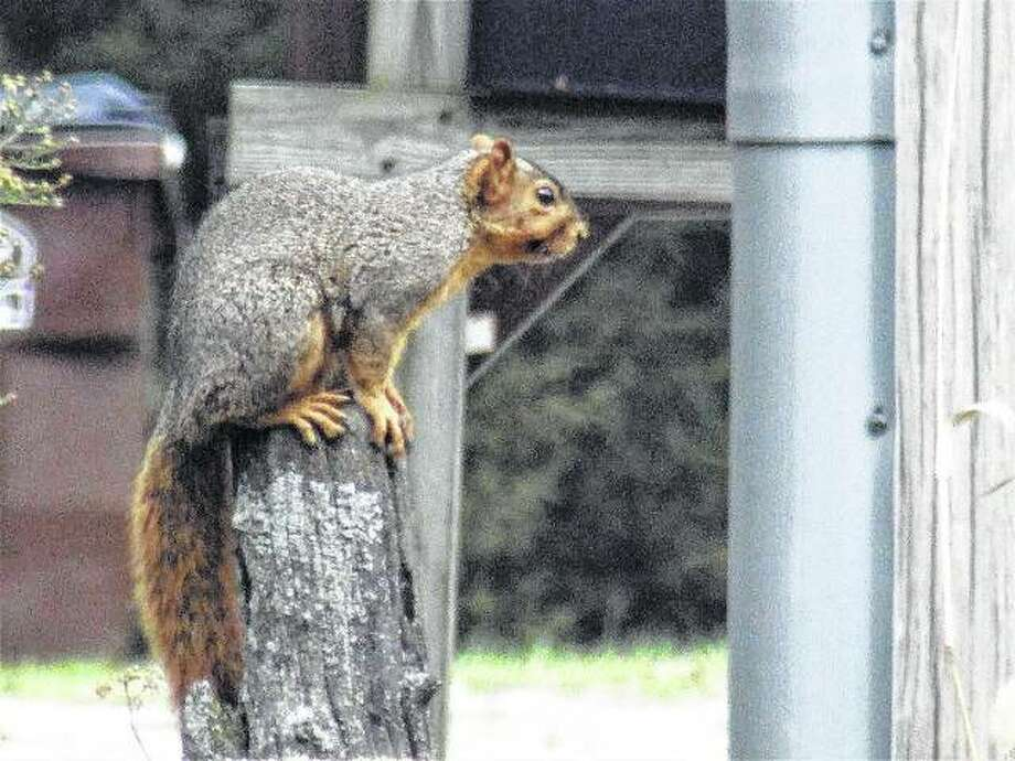 A squirrel blends into its surroundings while sitting on a post in Scottville.
