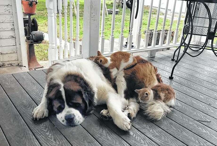 Ollie, a 2-year-old St. Bernard, is in a popular napping spot for farm cats as the weather gets colder. Photo: Audra Chaudoin | Reader Photo