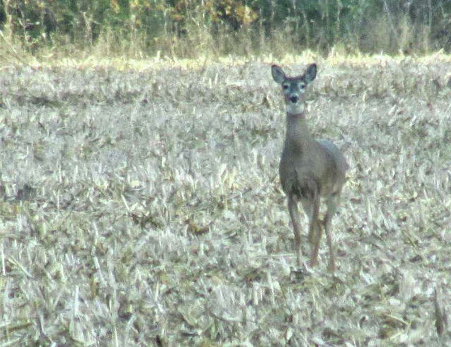 A deer keeps its distance in a field in rural Greene County.