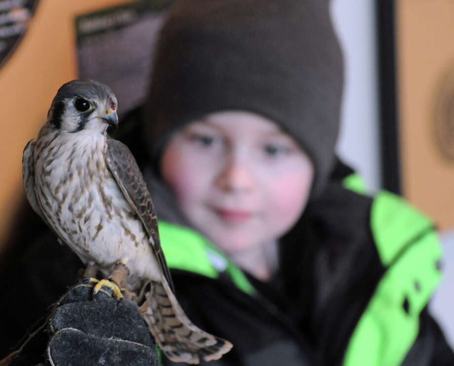 """A seven-year-old visitor from Macoupin County eyes an American Kestrel during the """"Birds of Prey"""" event Saturday at the Lewis and Clark Confluence Tower in Hartford. Photo: David Blanchette 
