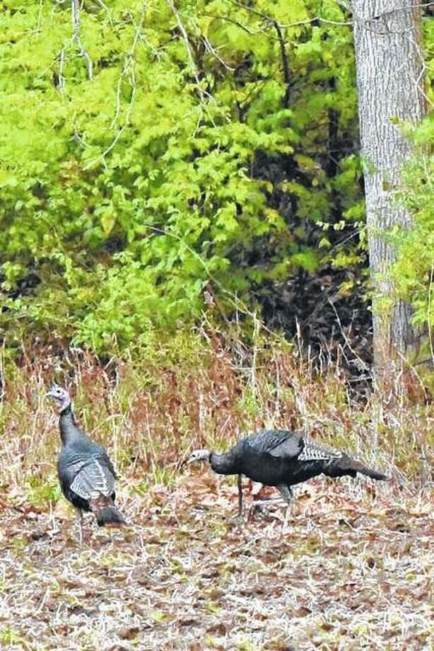 Turkeys wander cautiously through the woods of Scott County.