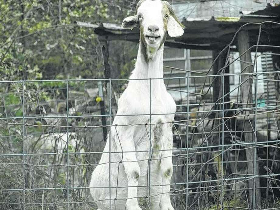 A goat stands guard at a fence near Michael in Calhoun County.
