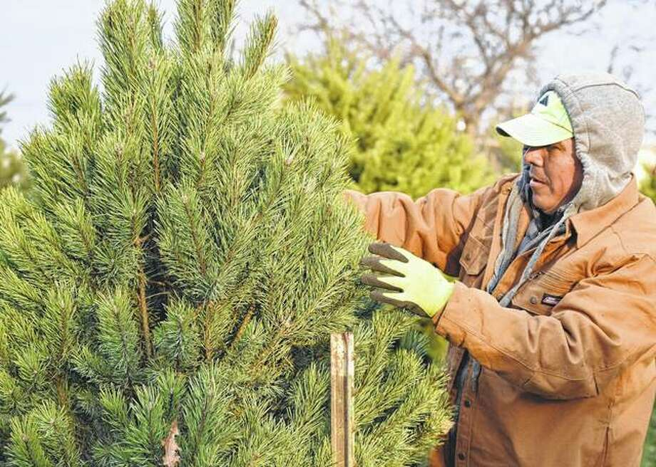 Juan Mendoza stocks trees Wednesday at Anderson's Tree Lot on West Morton Avenue in advance of the Christmas season. Photo: Samantha McDaniel-Ogletree | Journal-Courier