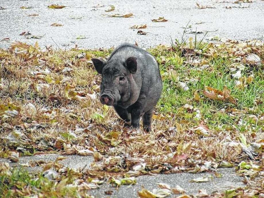 A pot-bellied pig takes a journey around town.