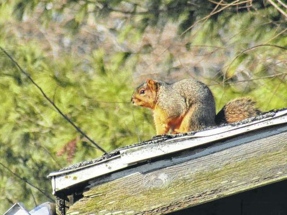 A squirrel sits on top of an old house in Scottville.