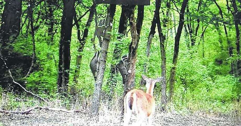 A trailcam caught this interesting meeting between a deer and a few raccoons.