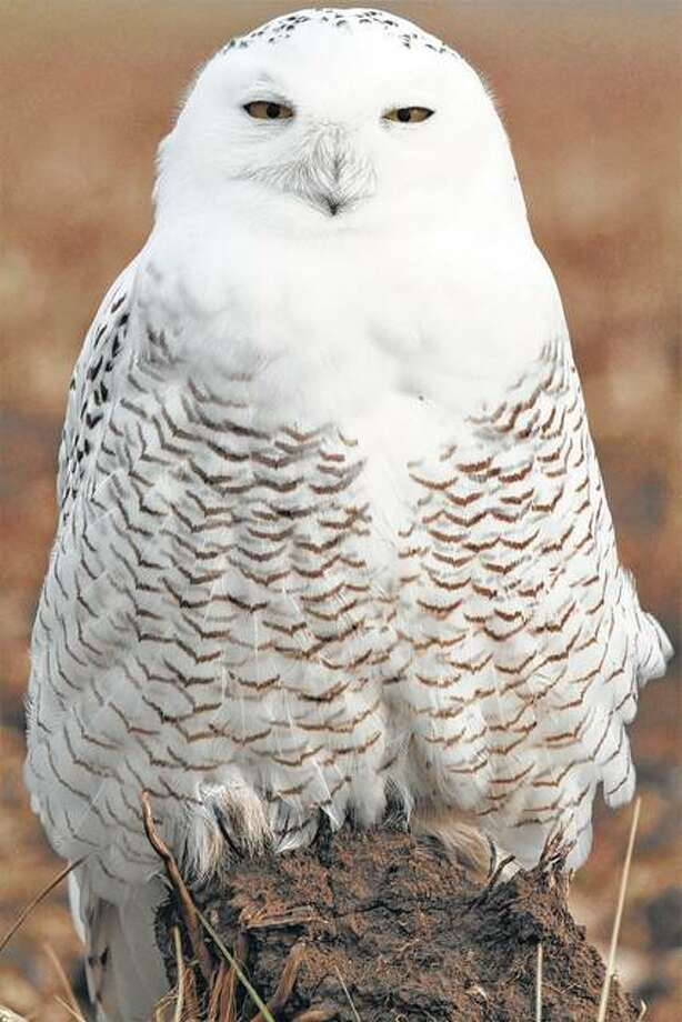 This adult female snowy owl was in southeastern Morgan County this week. The photo by birder Colin Dobson was the 281st species he has seen this year in Morgan County.