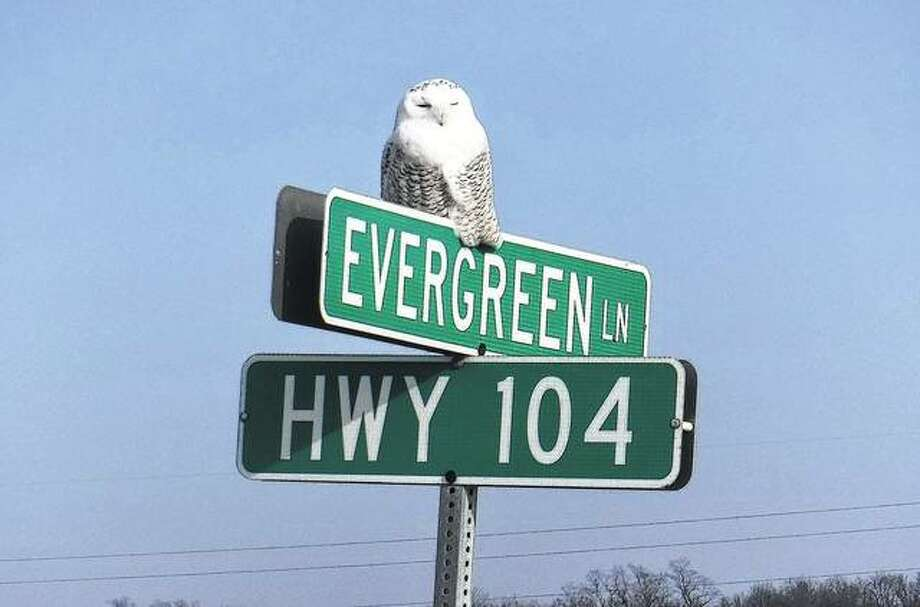 A snowy owl rests on a sign along Illinois Route 104. Bird watchers say sightings of the owl are unusual this far south. Photo: Denise Smith | Reader Photo