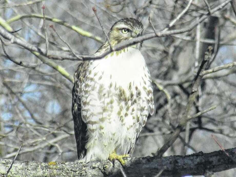 A hawk sits on a limb hanging across Apple Creek west of Scottville.