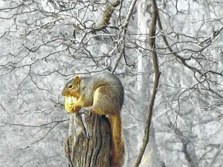 A squirrel dines on a gourd he found in a compost pile in rural Greenfield.