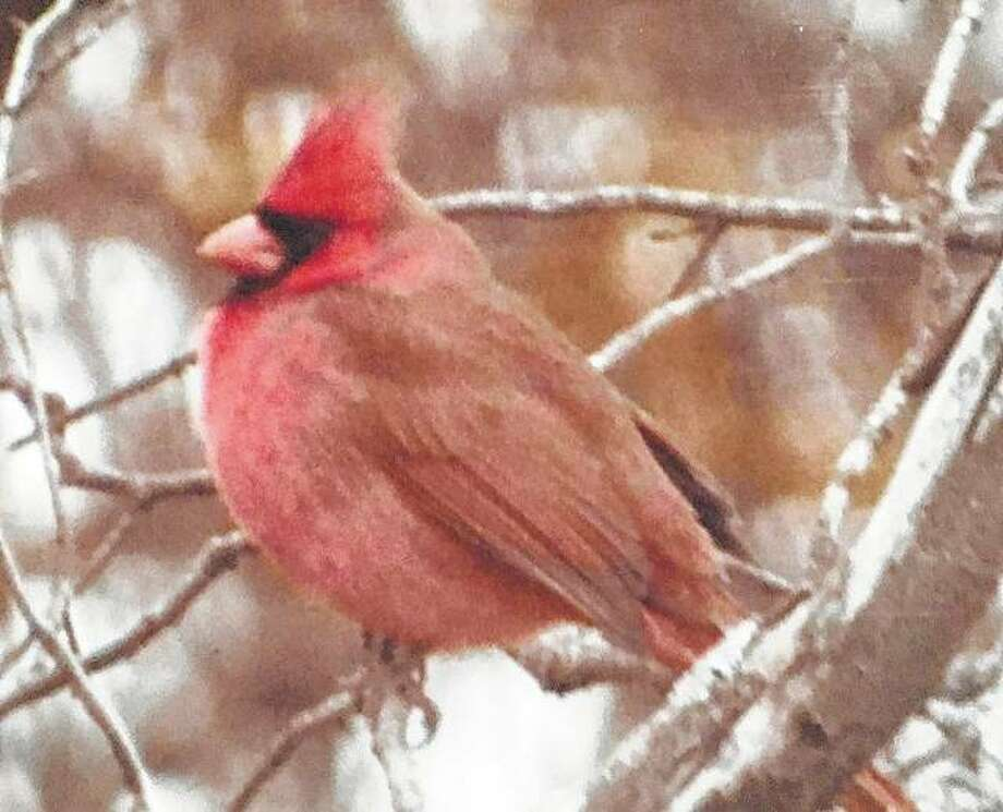 A cardinal sits in a tree.
