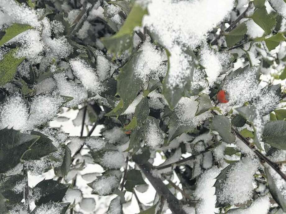Snow covers the leaves of a holly bush as a single berry pokes through.