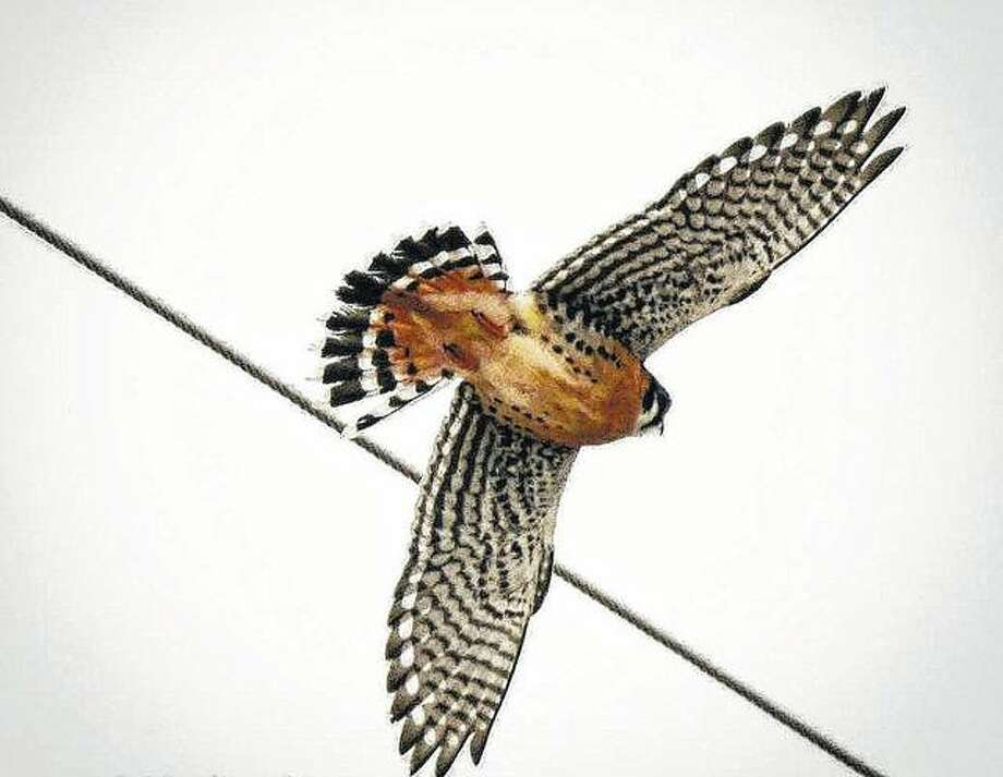 An American Kestral takes aim on lunch below.