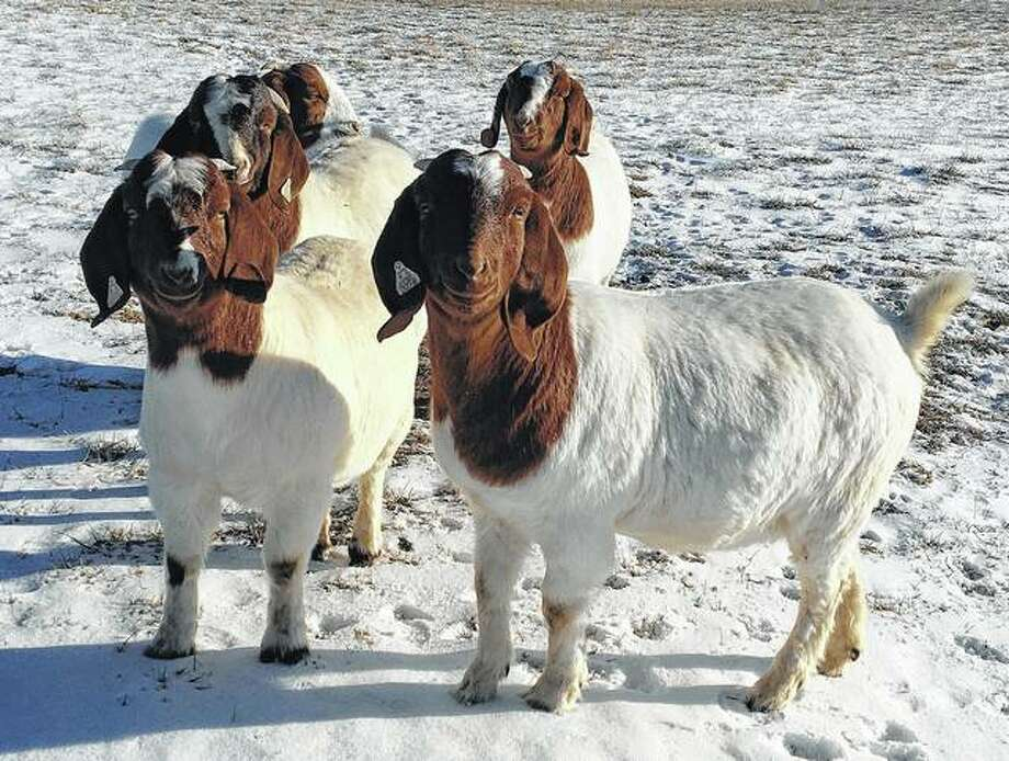 Goats seem to be enjoying the blast of winter in the region. Photo: Joy Harris | Reader Photo