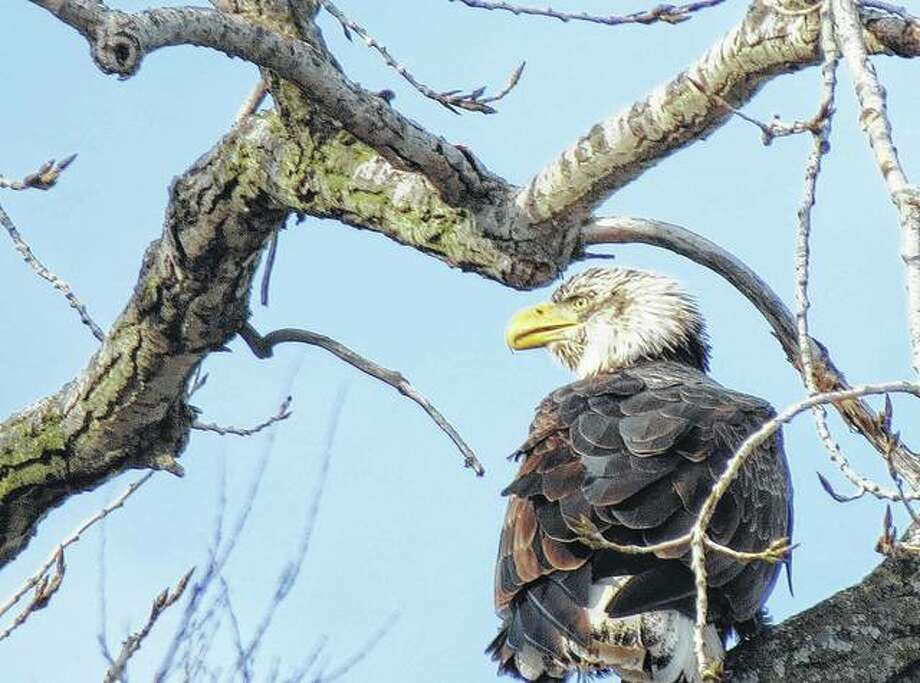 An eagle makes an appearance in southeastern Morgan County, hanging out for a few minutes on the branches of a tree.