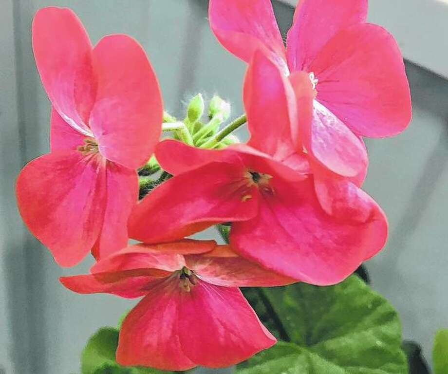 A geranium blooms inside a house, sheltered from the winter outside.