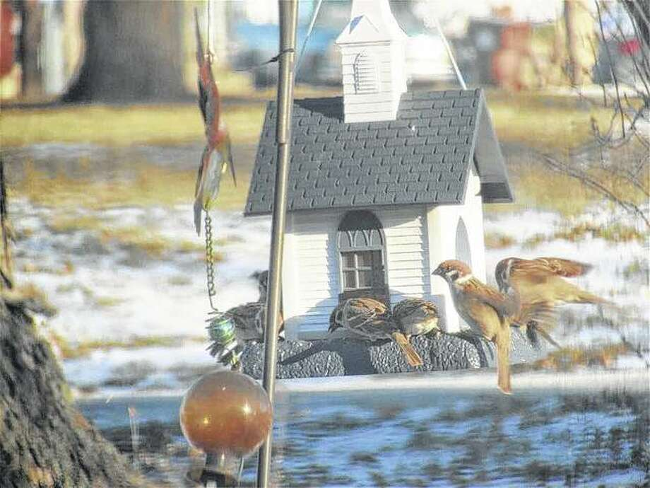 Sparrows look as though they are ready for church as they gather to eat from a feeder in Scottville.