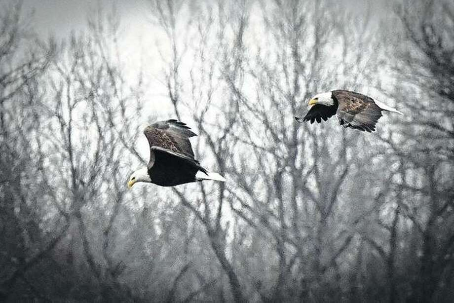 A pair of eagles soar through the sky in west-central Illinois.