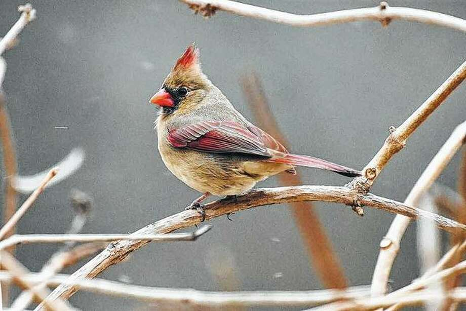 A cardinal finds a perch on the branch of a tree.