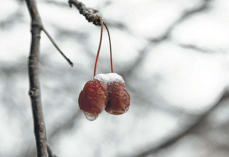 Frozen young fruit is covered by snow Tuesday in Chicago. Blustery winds circulated much colder air into the region, with daytime temperatures falling by some 20 degrees across the state.