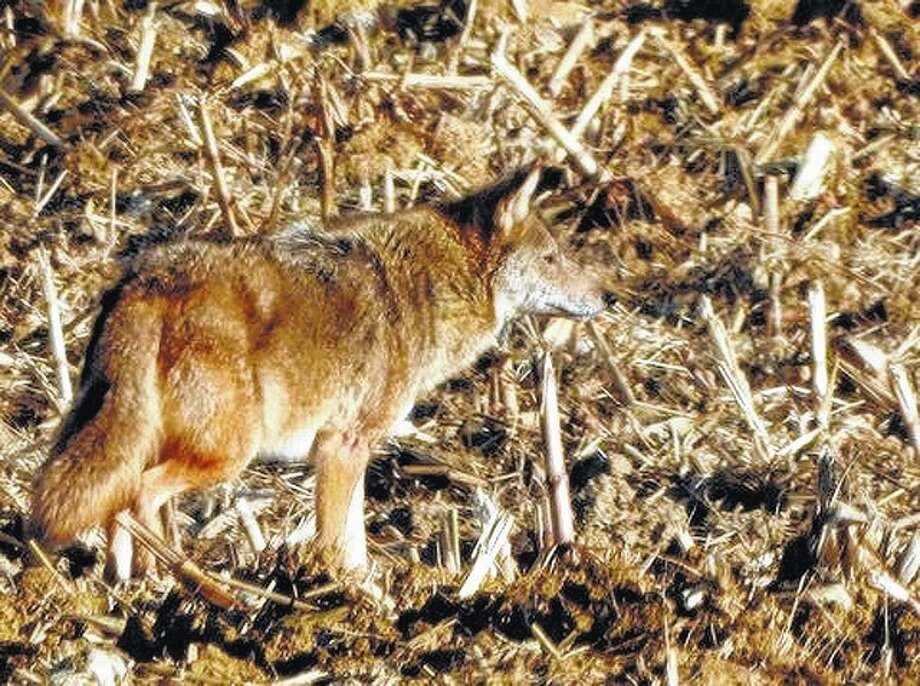 Kathy Caruthers   Reader photo A coyote goes on the hunt south of Waverly.