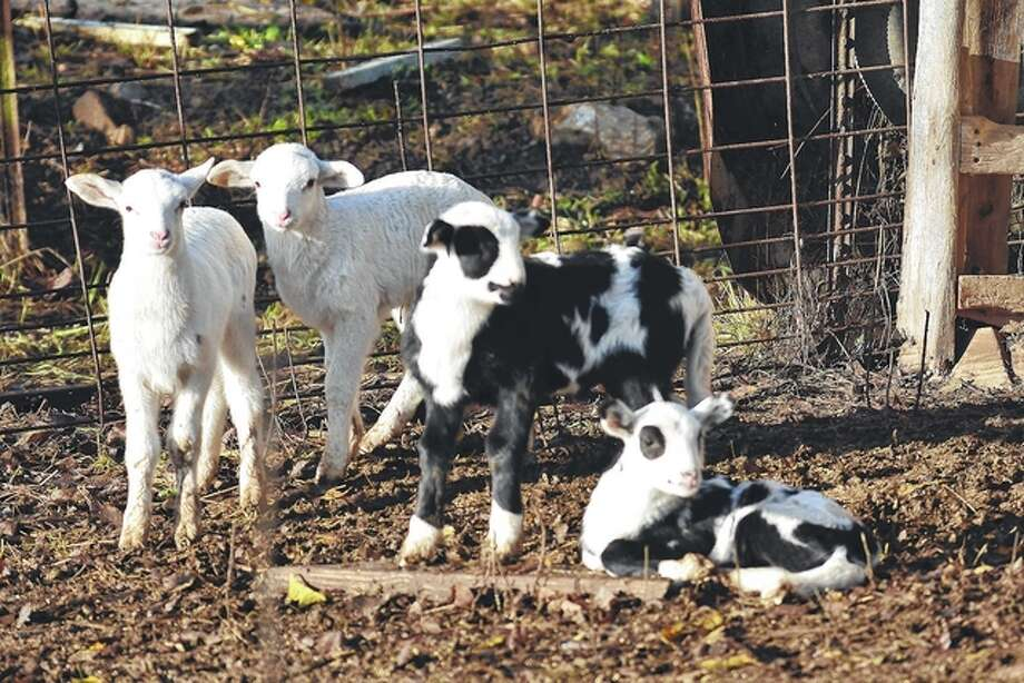 Jeff Ruzicka | Reader photo Two sets of barnyard twins enjoy the day at a Pike County farm.